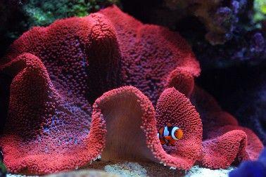 Haddon's carpet anemone and percula clownfish. Stichodactyla haddoni and Amphiprion percula.