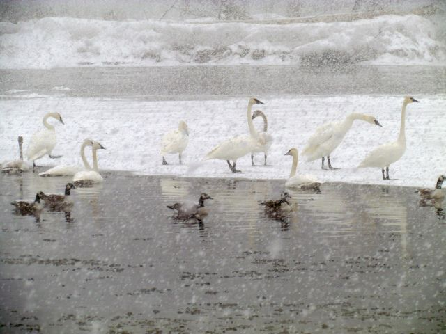 Swans on the Grand River