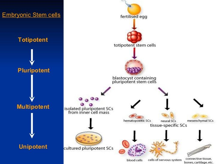 Embryonic stem cell