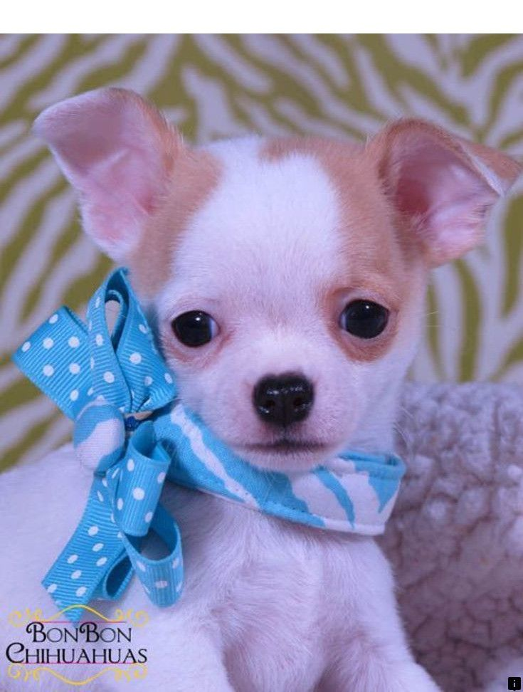 Click On The Link For More Info Pugs For Adoption Near Me Click The Link For More Information The Web Presence Is Worth Chihuahua Puppies Chihuahua Puppies For Sale Baby Animals