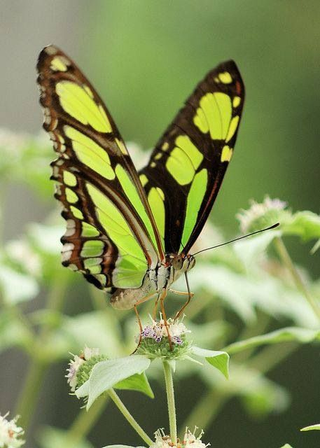 Green butterfly how I love you