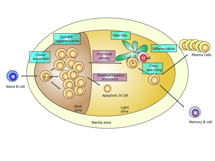 Germinal center - Germinal center - Wikipedia, the free encyclopedia