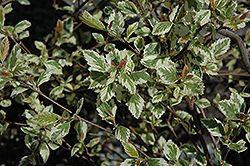 Click to view full-size photo of Shiloh Splash River Birch (Betula nigra 'Shiloh Splash') at Gertens