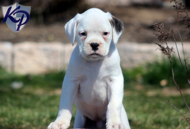 Carter – Boxer Puppies for Sale in PA | Keystone Puppies