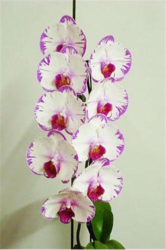 #phalaenopsis #orchid