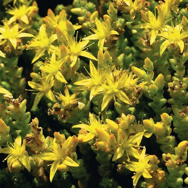 Rozchodnik Ostry Plants Sedum