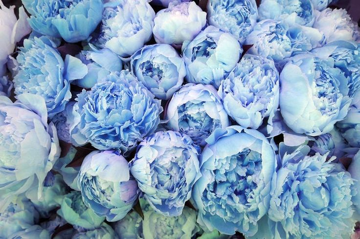blue peonies - never seen these before, I love peonies and these are gorgeous, will have to find some!