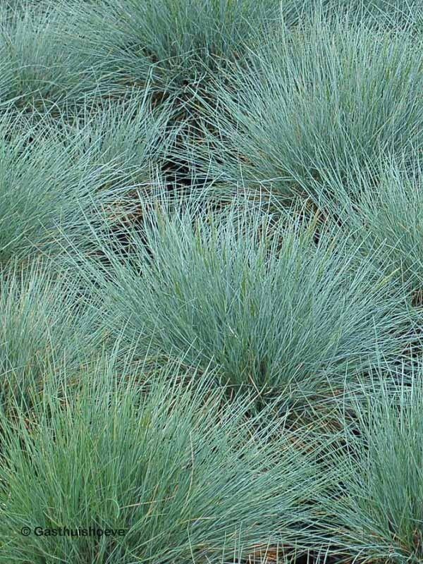Siergras met bloemen. Festuca glauca Elijah Blue ofwel Schapengras bestellen via webshop. #planten online kopen #tuinplanten