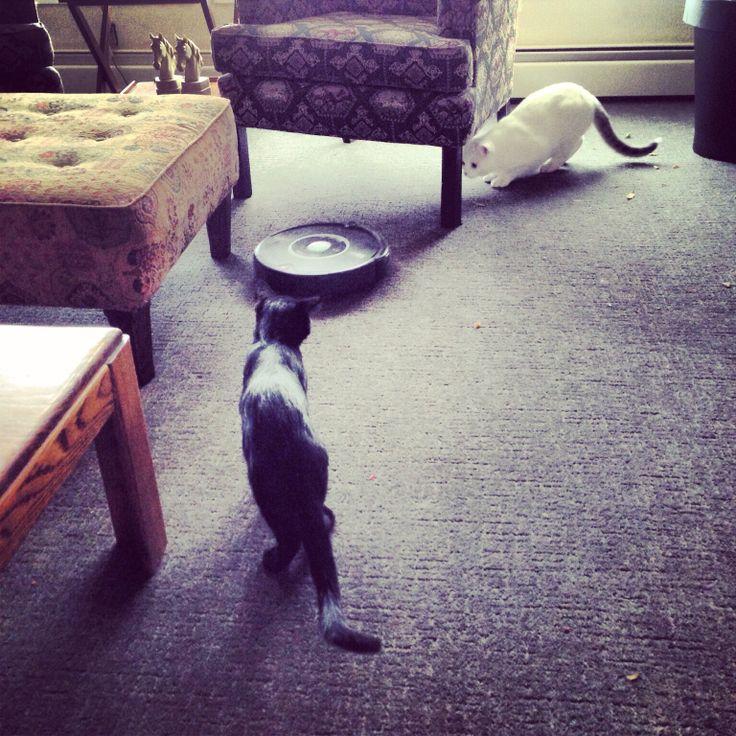 Roomba hunting.
