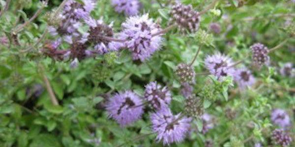 Connaissez-vous les propriétés répulsives de la menthe pouliot ?