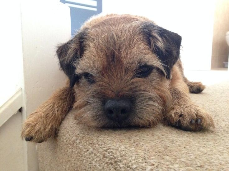 Twitter / Ange412: Border terrier love my gorgeous Hovis