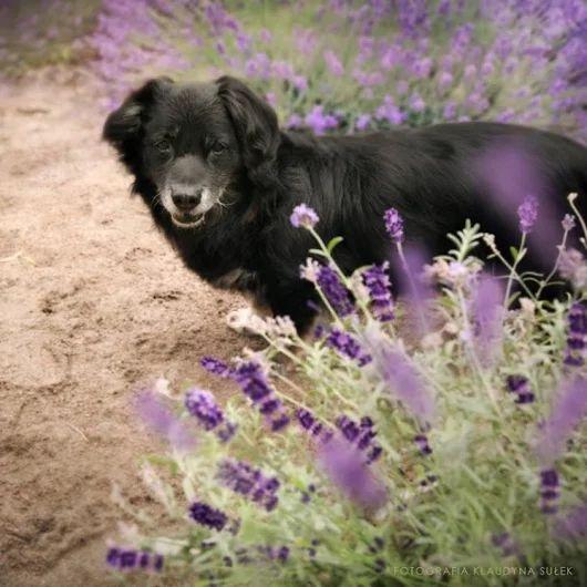 Nestor psi dziadek, zwrócony z adopcji