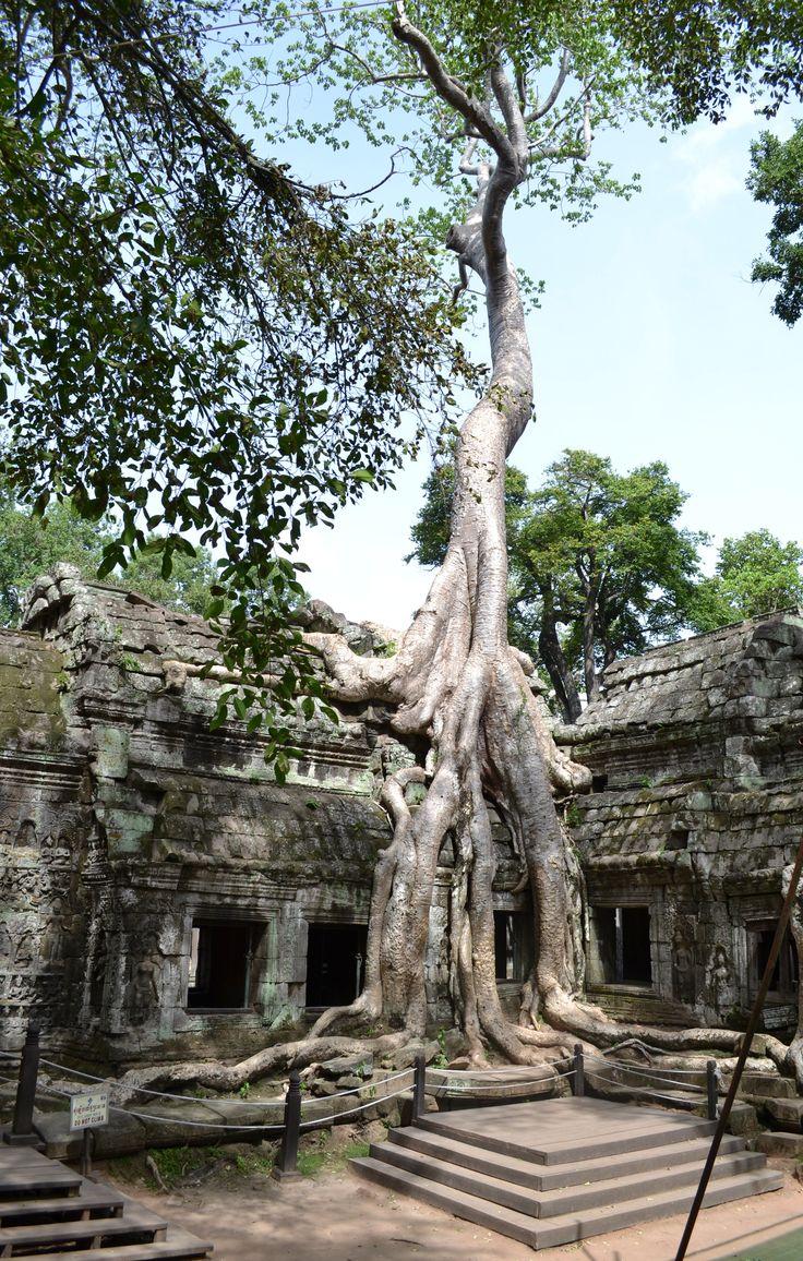 Crocodile Tree at Ta Prohm, Angkor, Cambodia