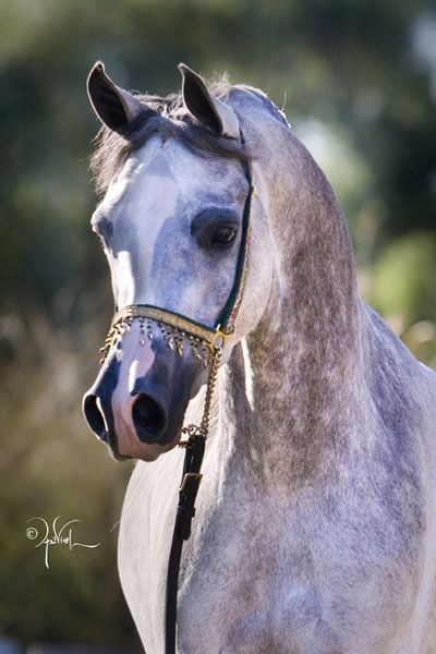 Arabhorse.com - Day Dream Arabians - Horse ~ Angelina Showlee, a GORGEOUS mix of mostly Polish ( *Bask++ and *Eukaliptus ) with two crosses with Crabbet and a line to Egyptian. She truly is a perfect culmination of all of them! <3