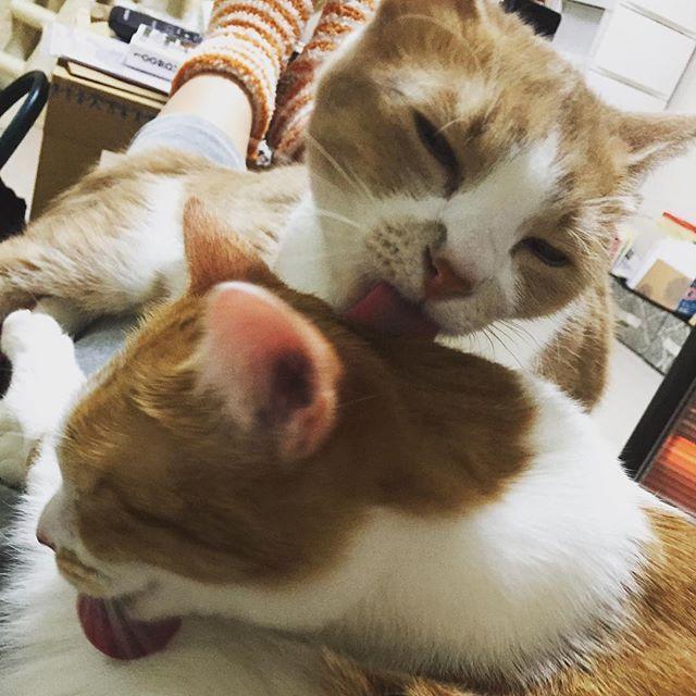 べろ〜ん #たまらん #脚の上でグルーミング #重い #たまらん #とろとはまち #猫 #愛猫 #茶白猫 #茶トラ猫 #桜耳 #toro_and_hamachi #cat #adorablecats #adoptedcats #grooming #licking