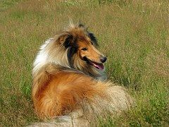 Rough Collie, Hond, Collie, Huisdier