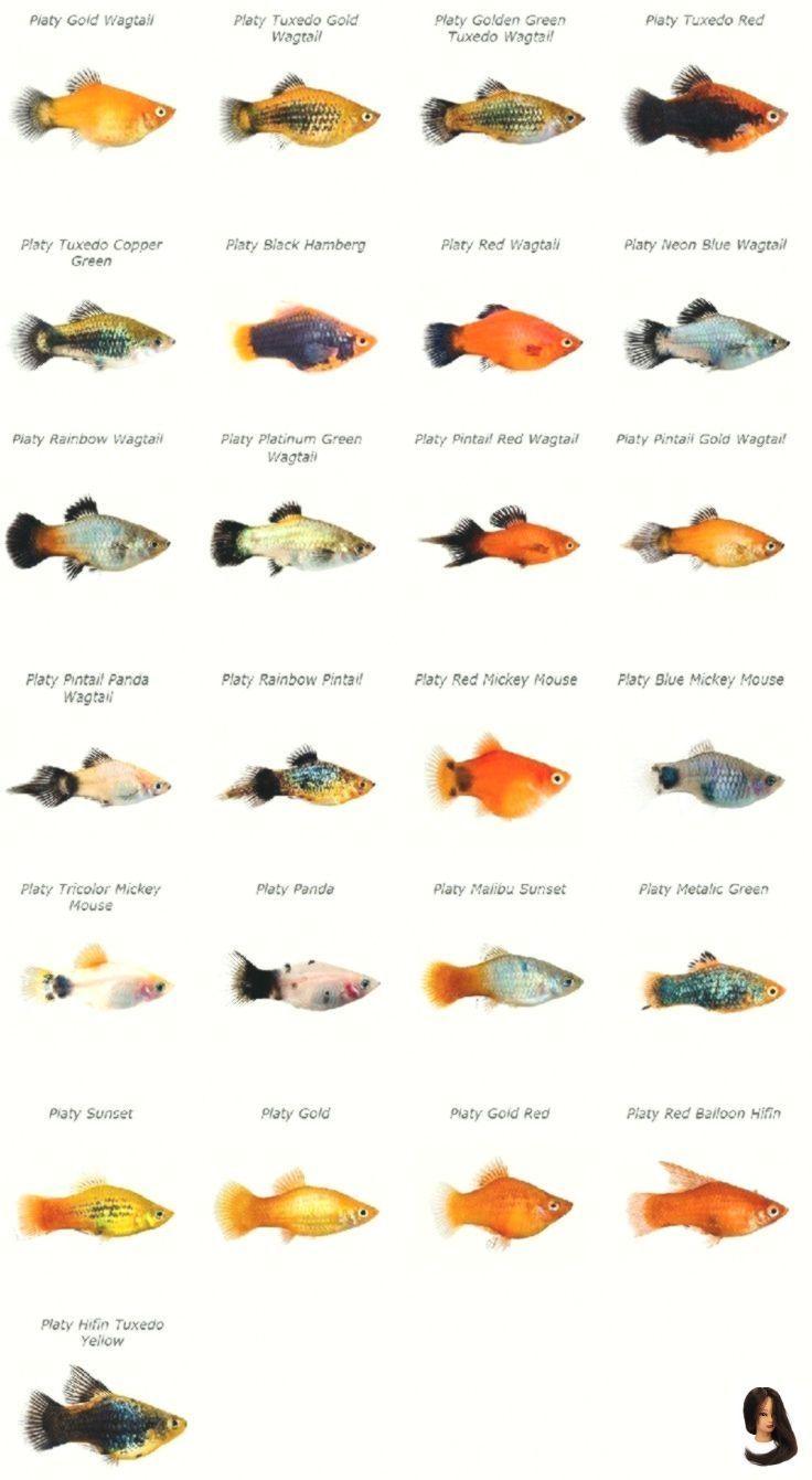 Animals Aquatic Class Freshwater Guide Platy Tropical Platy Class Guide Tropical Freshwater In 2020 Aquarium Fish Aquarium Fish Tank Tropical Freshwater Fish