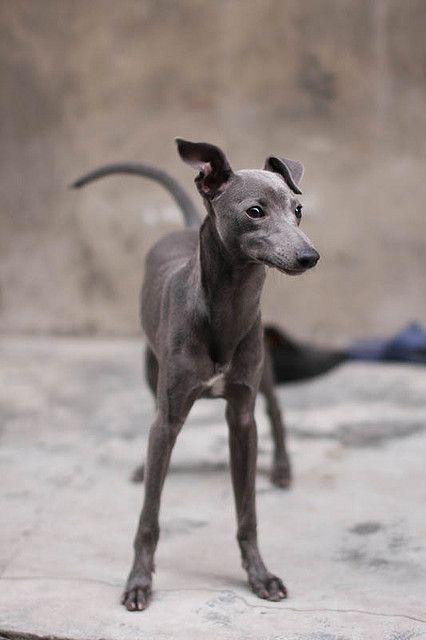 Sunday the Italian Greyhound by penguinspring, via Flickr