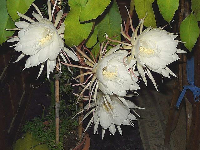 Epiphyllum oxypetalum- Orchid cactus