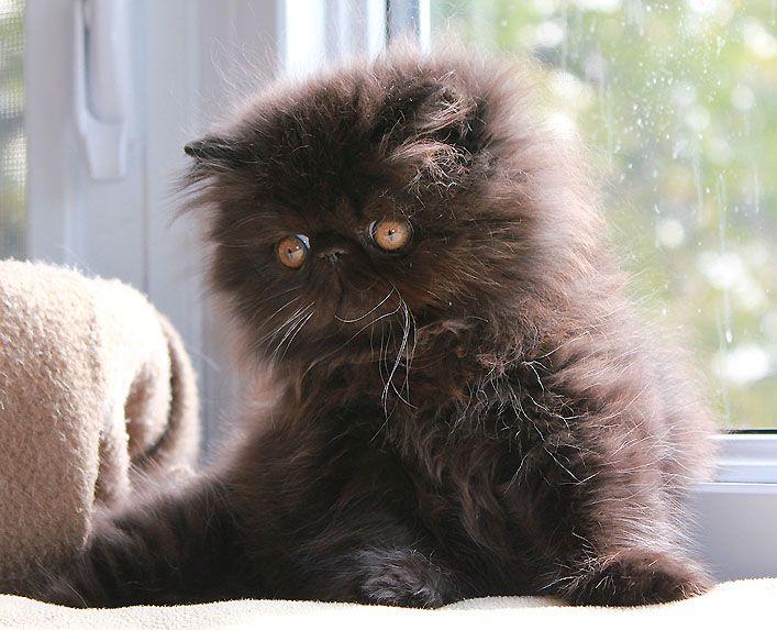 Alfenloch Scrumptious Solid Black Female Persian Kitten Persian