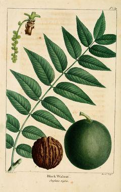 nogal juglans neotropica | Juglans nigra