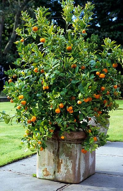 kumquat in large container