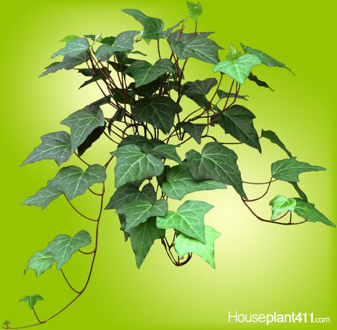 English Ivy Houseplants Are Easily Propagated By Stem