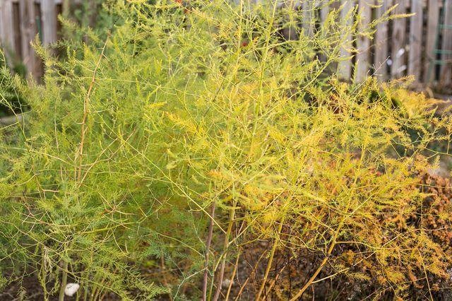 When & How to Cut Down Asparagus Plants   eHow