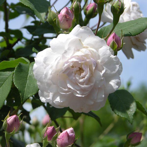 (klim)roos 'Blush Noisette' * (1814) - syn. 'Noisette Carnée' - AGM 2012. Eén van de eerste noisetterozen. Blushroze naar wit verkleurende bloemen (3-5cm) in trossen van 20-50 stuks. Kruidige geur. Bijna doornloos. Goede doorbloeier. Zeer gezond en sterk. Als struik 180cm x 100cm, als klimmer tot 250cm.