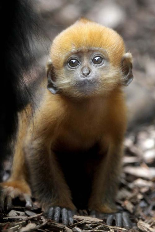 The adult Francois langur has a distinctively tall and pointed crest of black hair on its head. The fur is black with white lines from the corners of the mouth, across the cheeks to the ears, but the infants' fur is pale ginger-orange!