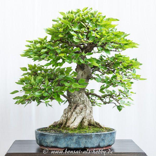 Die besten 17 ideen zu hainbuche auf pinterest buchsbaum for Bonsai versand