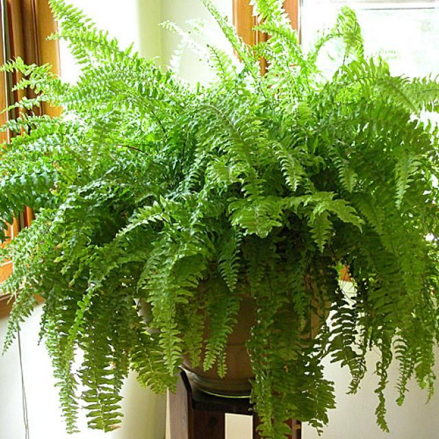 Ferns make great plants for the garden or the home. Here are some tips and ideas for choosing and growing fern plants indoors or in the garden.