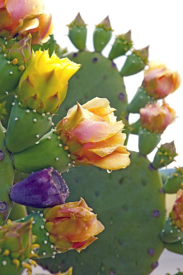 Cacti In Bloom Photograph - Cacti In Bloom Fine Art Print
