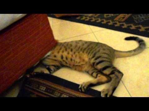 Египетские кошки (отель Алладин) - YouTube
