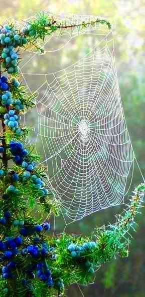 A beautiful web between the flowering shrub