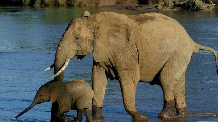 Chinese Government Bans Ivory Trade - Commercial processing and sales of ivory will be prohibited as of March 31st and all registered traders will then be phased out so that there will be a full halt by the end of the year. http://www.bbc.com/news/world-asia-china-38470861