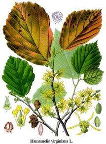 Witch Hazel Herb Uses and Health Benefits