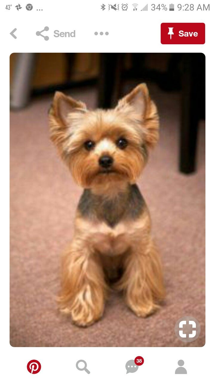 Yorkie Pom Puppies For Sale In Nc References