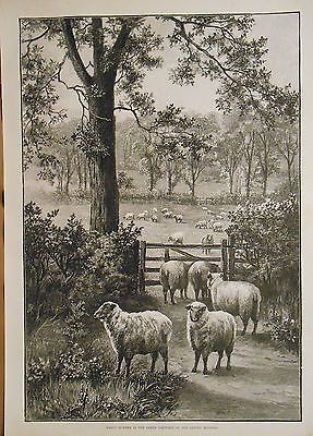 English Countryside Sheep Flock In Pasture Farm Animals