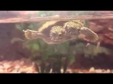 Тельма и Луиза, двухголовая черепаха | Зелена Хвиля