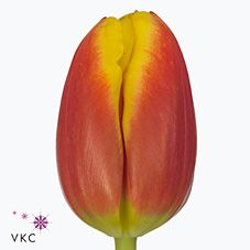 Dow Jones is a fabulous red & yellow tulip variety. Dow Jones tulips are approx. 36cm tall & wholesaled in 50 stem wraps.