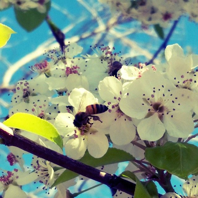 Bee On A Cherry Blossom Tree Taken In Phoenix Az Fun Challenge Go To A Nursery And See What Kind Of Rad Photos You Can Ta Cherry Blossom Tree Photo Flowers