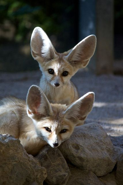 25 Best Images About Africa Amp Middle East Fennec Fox On