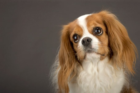 CAVALIR KING CHARLES SPANIEL  one of the most expensive dog breeds to get.  I'm blessed to have TWO of them!  Worth every penny!