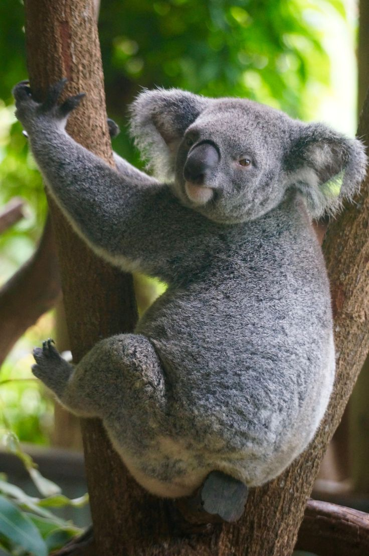 Les Koalas australiens / Koalas, native to Australia