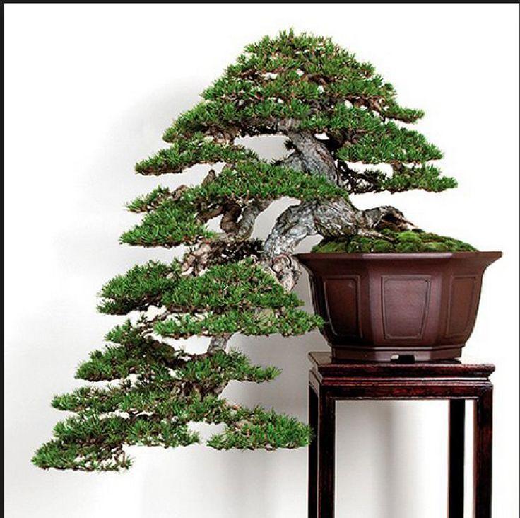 10759 besten bonsai bilder auf pinterest bonsai pflanzen und baumgarten. Black Bedroom Furniture Sets. Home Design Ideas
