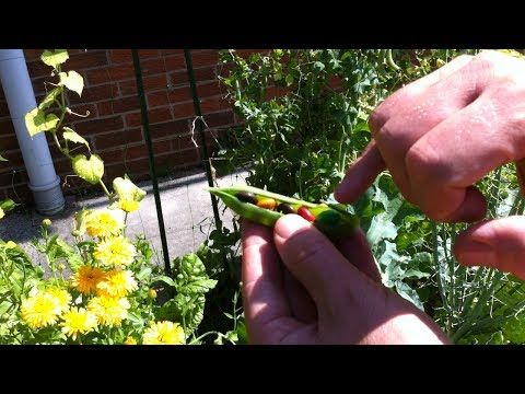 how to grow chocolate mms free chocolate from your garden