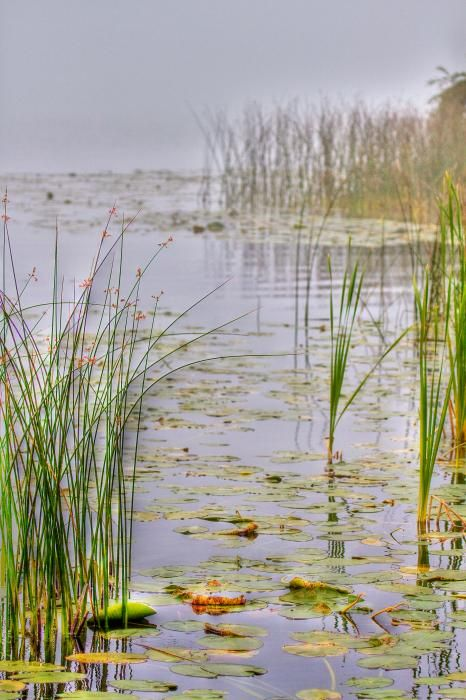 reeds,lake, swamp, lillies,lilly,pond,water,leafs,fog,fish,grass,nature,b.c.