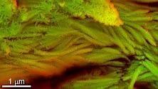 Nelle ossa di dinosauro cellule come globuli rossi