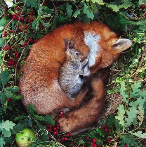 Sleeping fox with bunny friend, uncredited